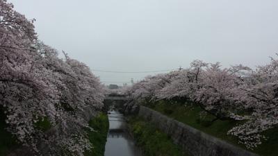 yamazakigawa20150403_3.jpg